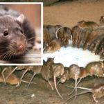 Här är knepet för att skrämma bort möss och råttor