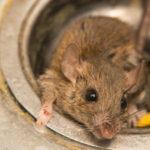 Oväntade knepet: Så håller du möss och råttor borta i höst